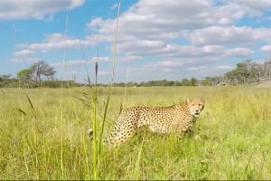 wildlife-cheetahs-thehide-hwange