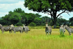 The Hide Savanna Zebra 022