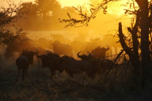 The Hide Wildebeest at Sunset