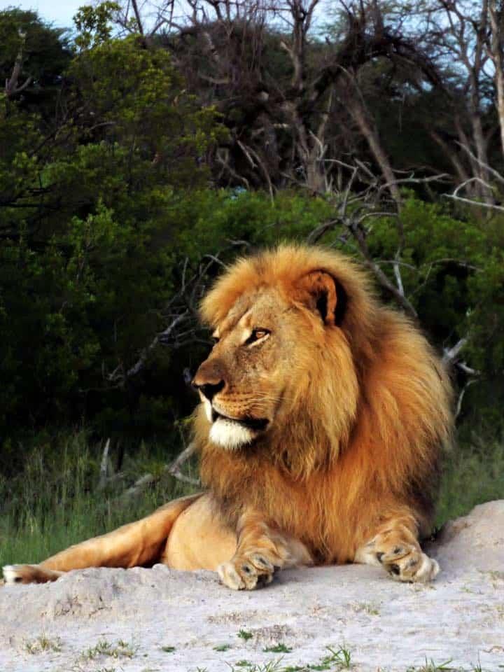 wildlife-malelion-thehide-hwange
