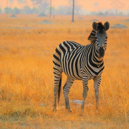 Zebra At The Hide