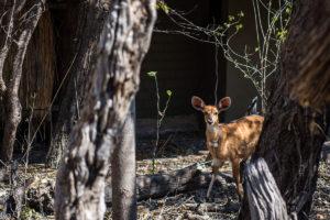 Kudu At The Hide