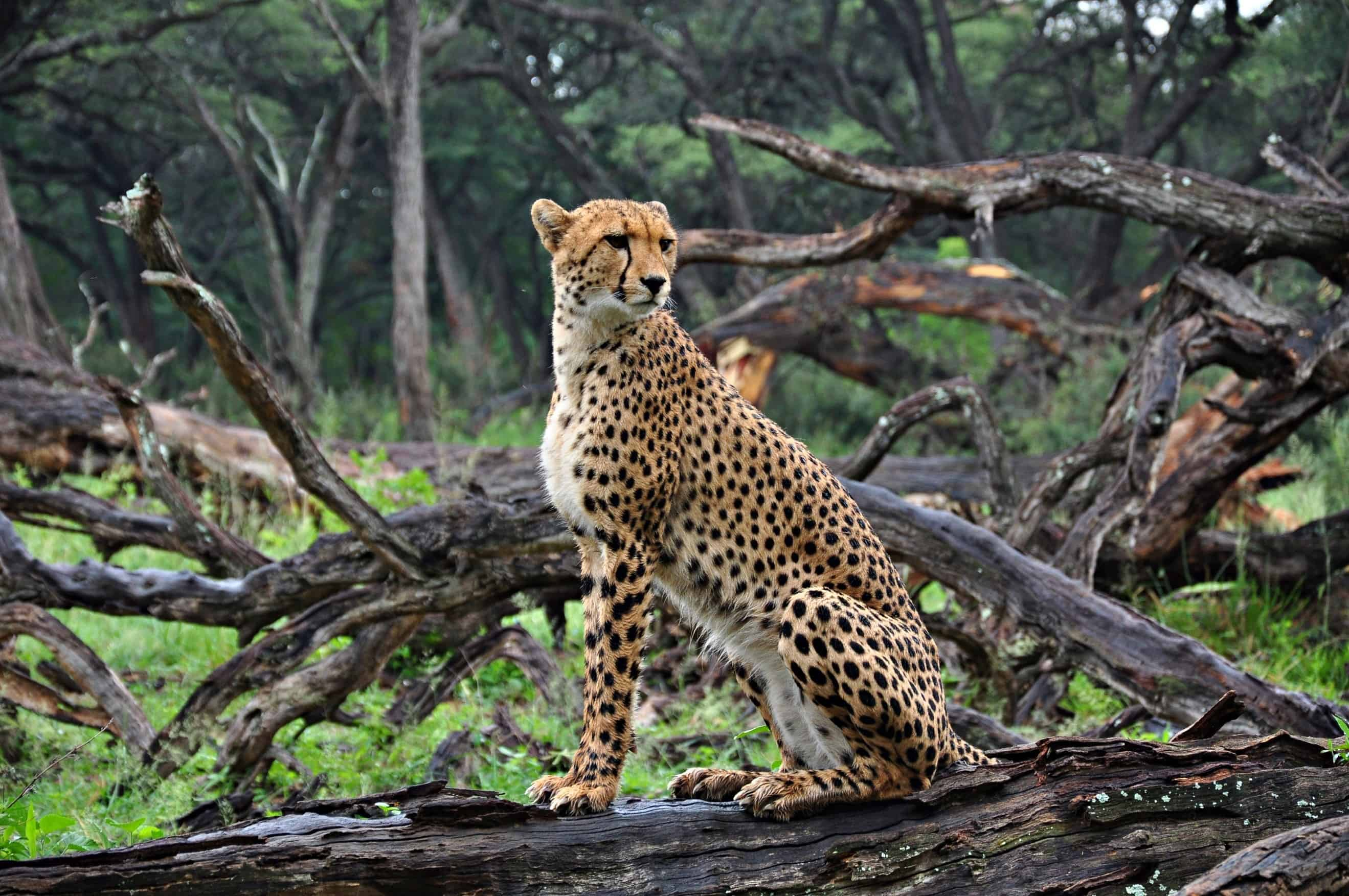 Cheetah Game Drive At The Hide Hwange National Park