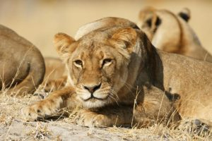Lioness At The Hide