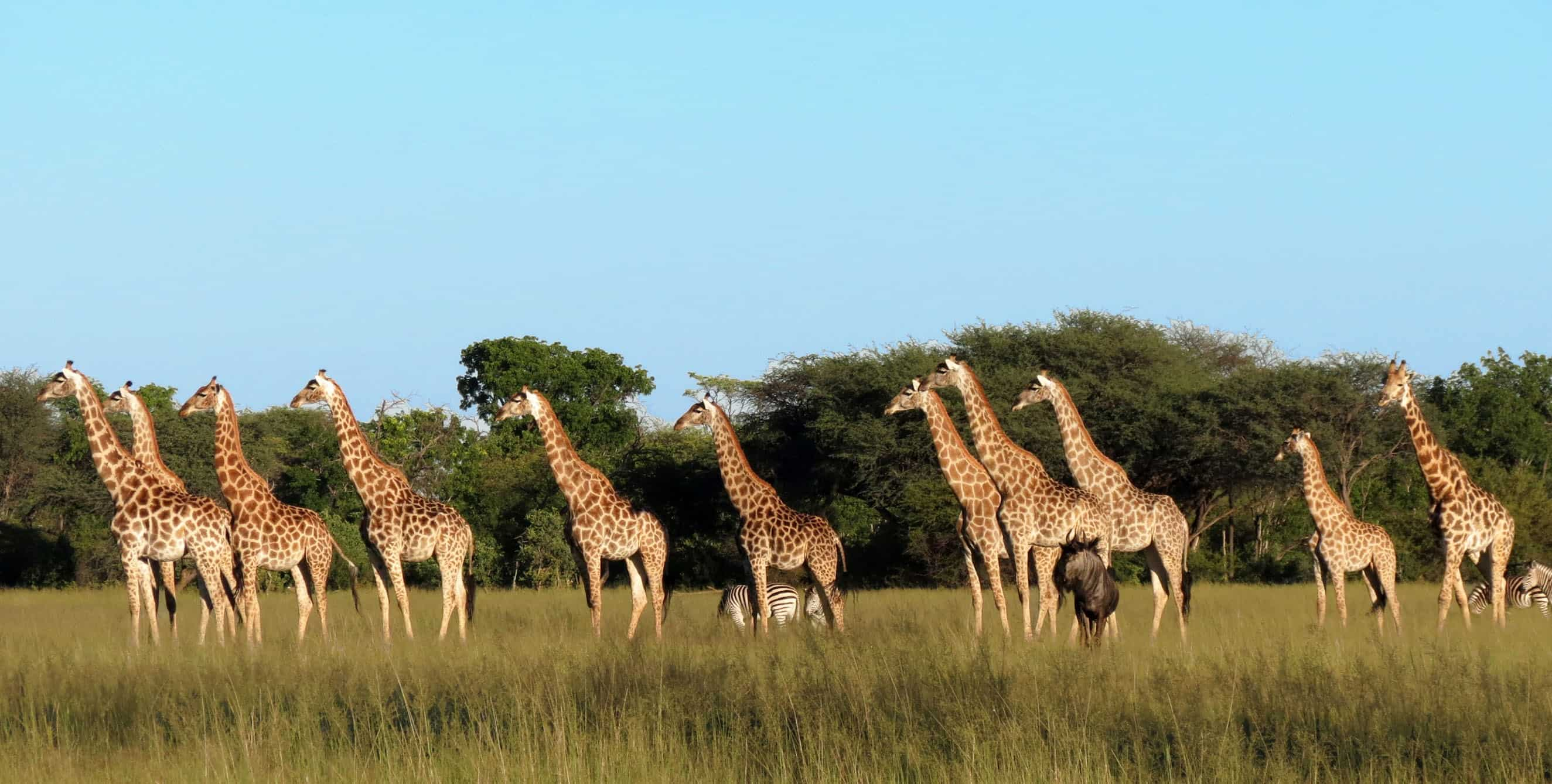 Giraffes -Game Drive At The Hide Hwange National Park