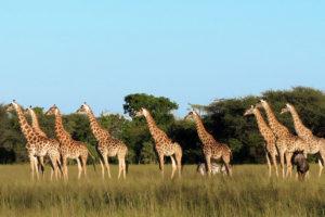 Giraffes At The Hide