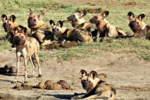 Hyena At the Hide