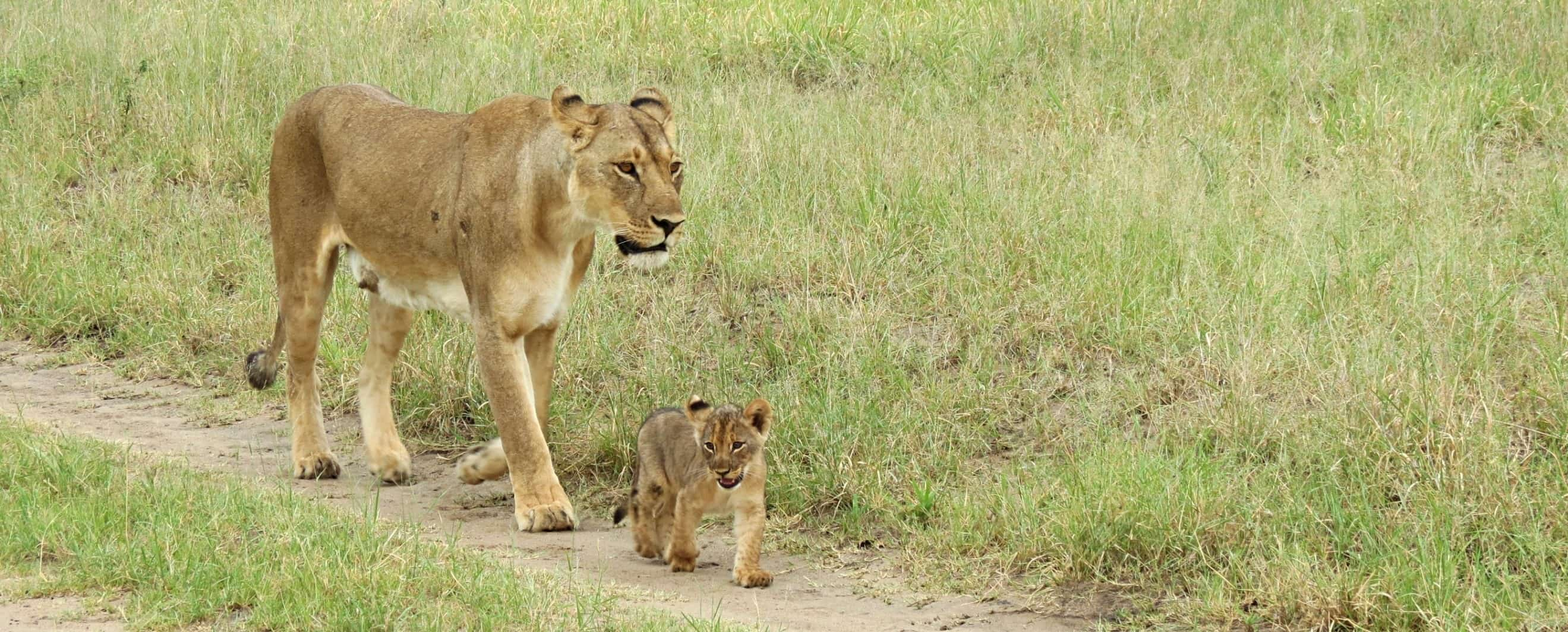 Lioness And Cub At the Hide Hwange National Park