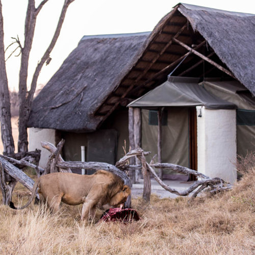 Lion at The Hide