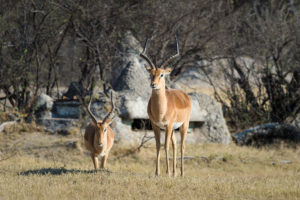 Antelope At The Hide
