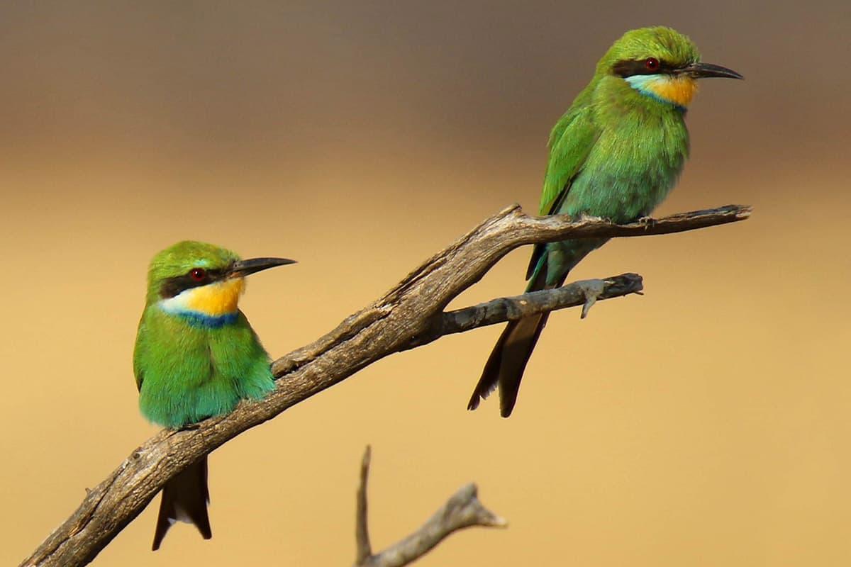 The Hide Birding - Beeeater