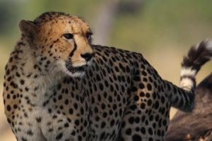 The Hide - Cheetah