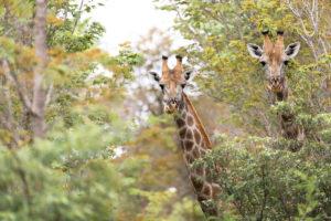 The Hide Giraffe