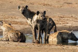 The Hide - Hyena