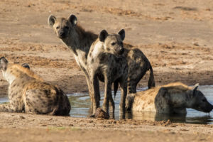 The Hide - Hyena