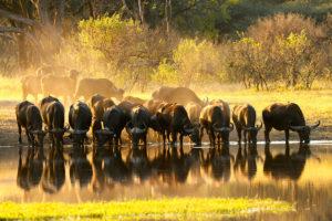 The Hide Wildlife - buffalo
