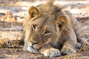 The Hide Lion