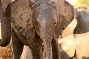 Baby Elephant At The Hide