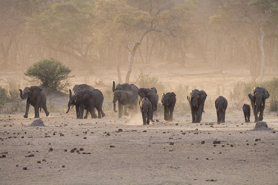 Elephant Herd Hwange National Park The Hide