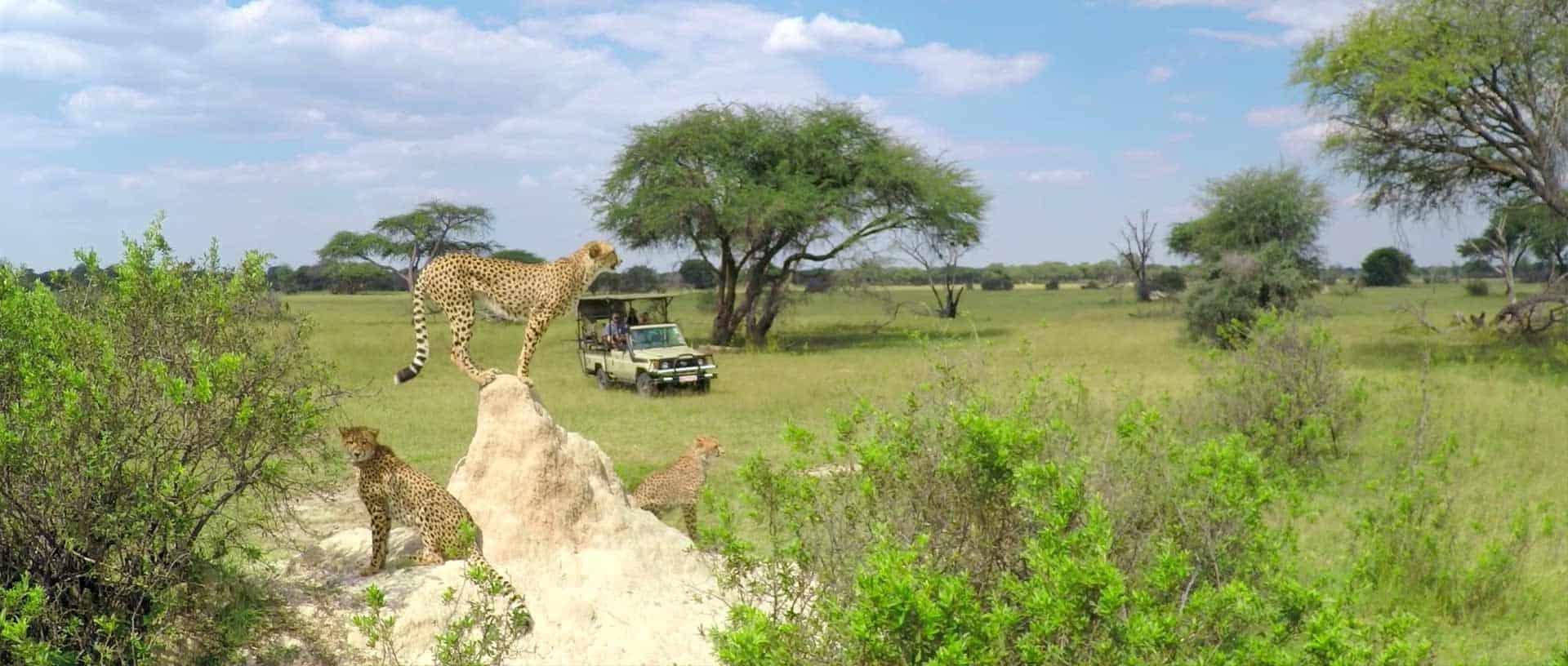 Wildlife at The Hide Cheetah