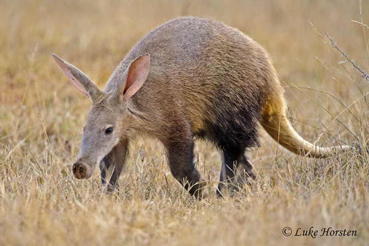 Ardvark Earth Pig Hwange National Park