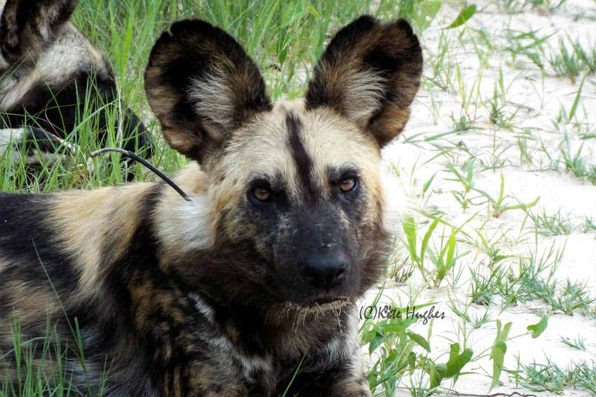 Painted Dog Hwange National Park