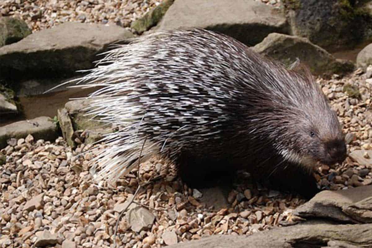 Porcupine Hwange National Park