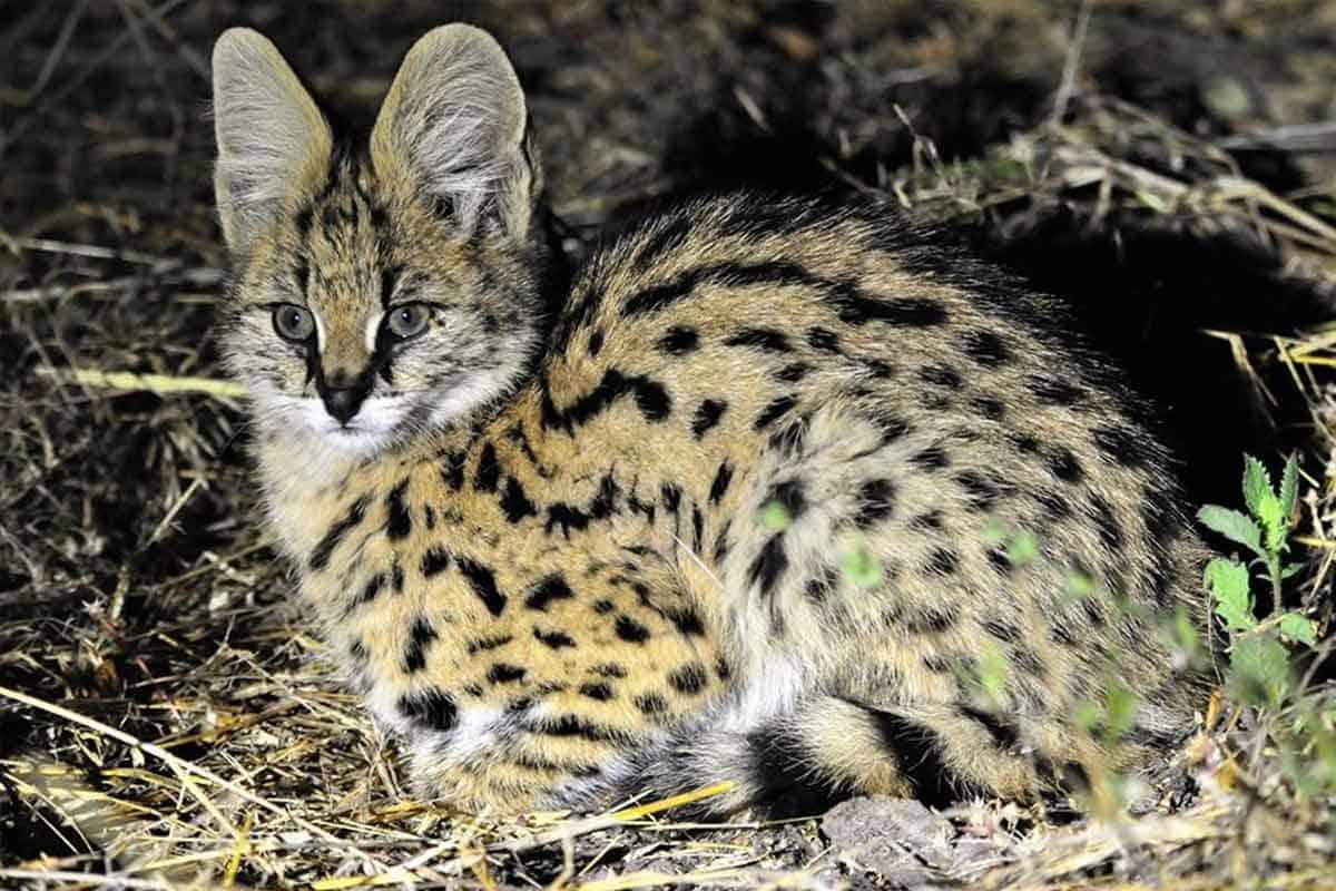 Serval Bush Cat Hwange National Park