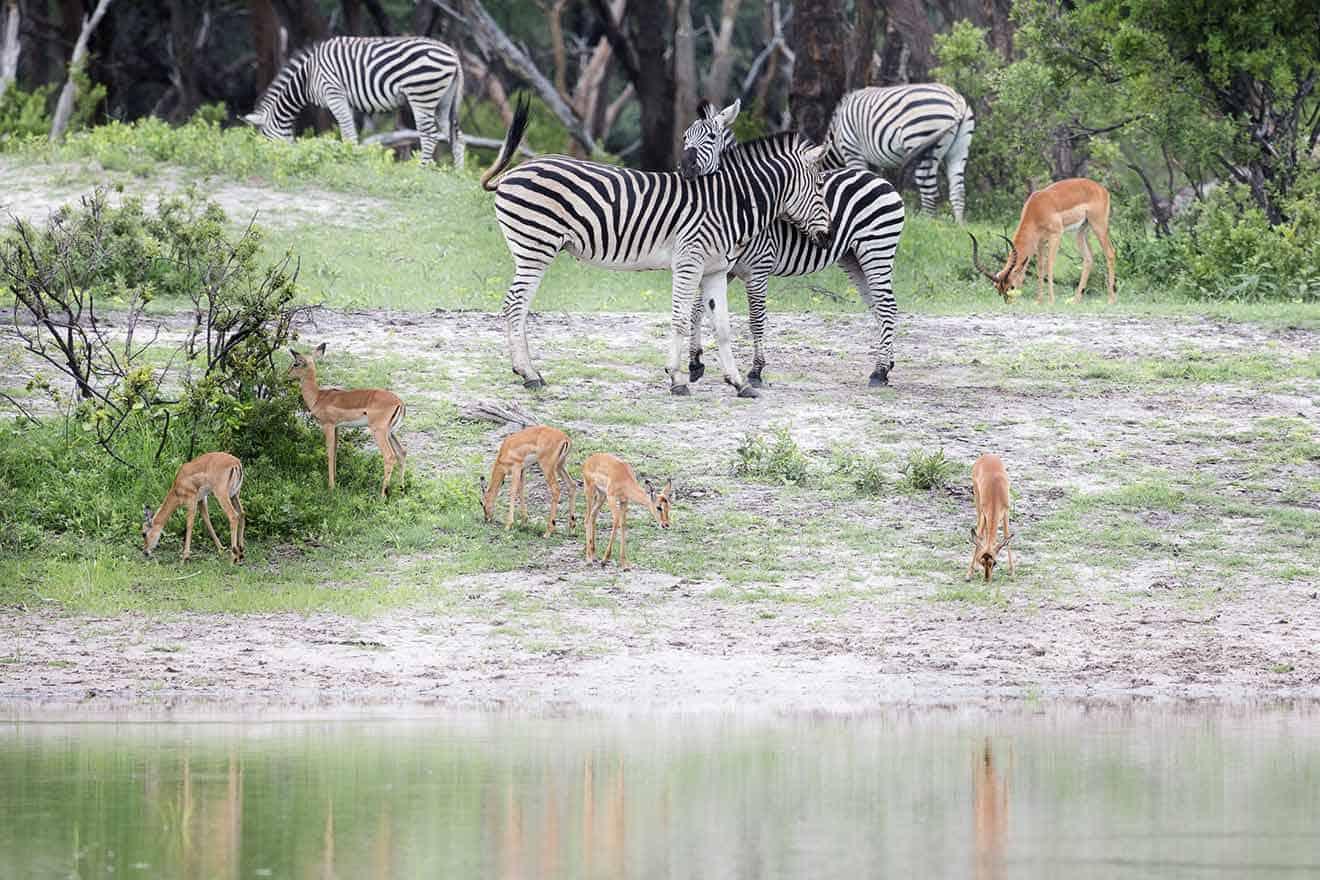 Zebras - Game Drive At The Hide Hwange National Park