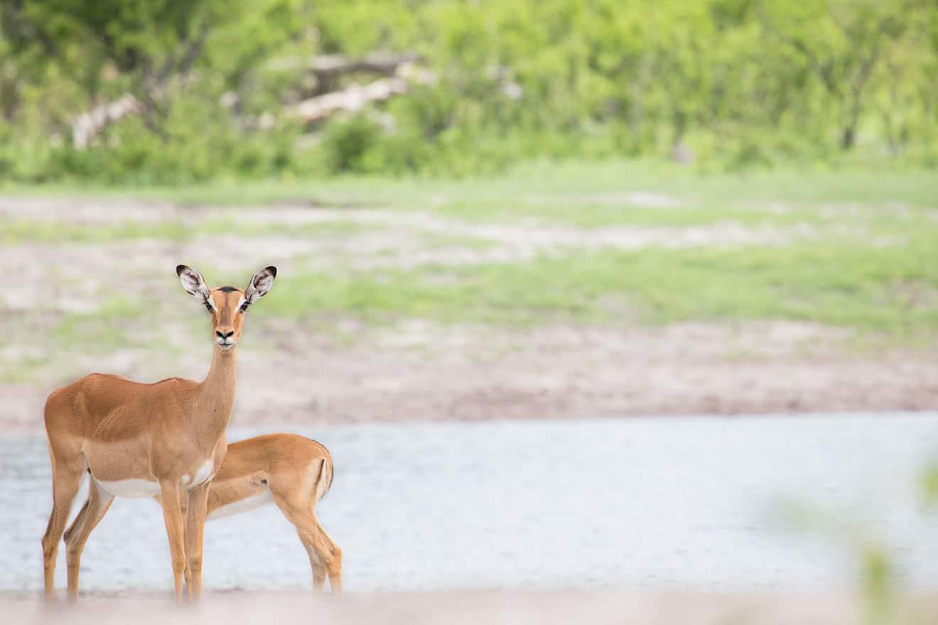 Deer - Game Drive At The Hide Hwange National Park