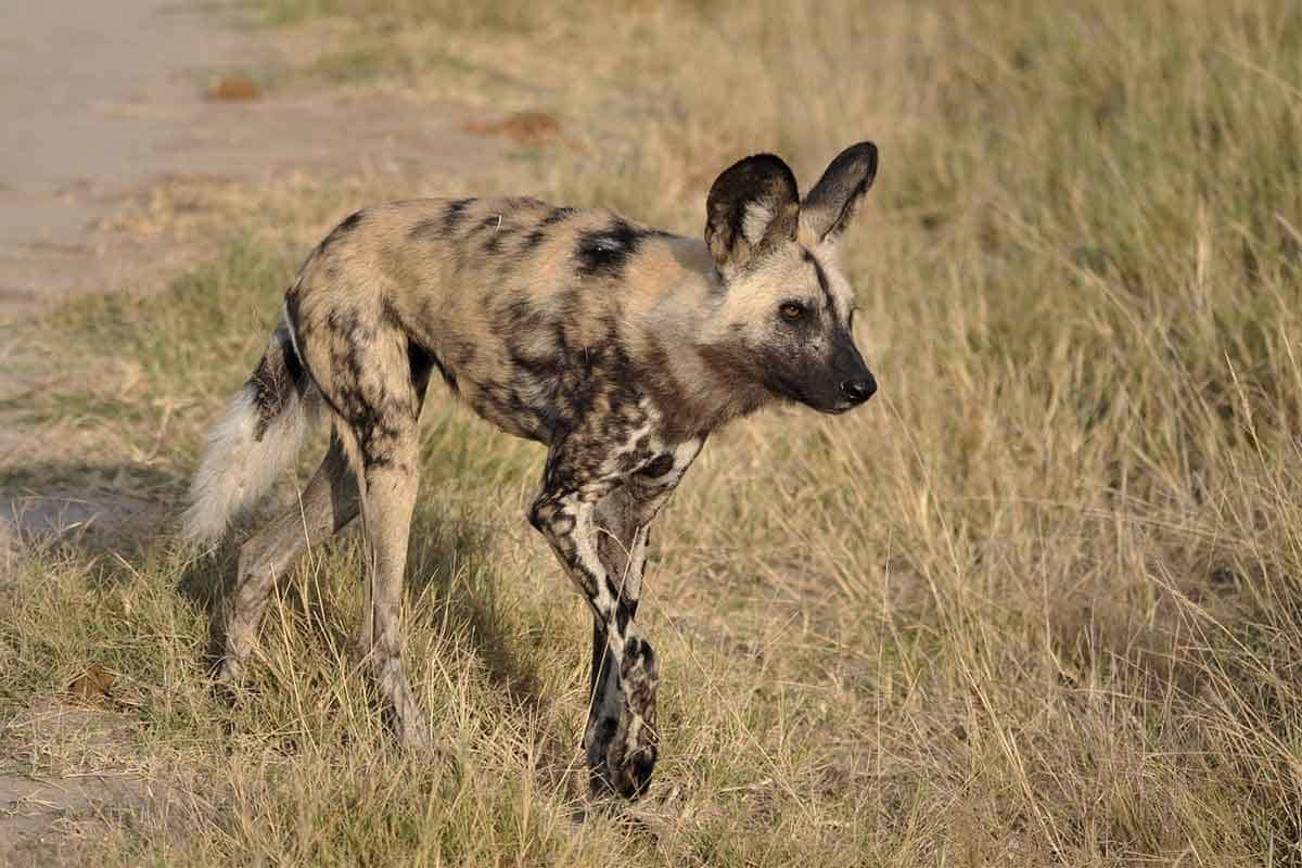 Wild Dog The Hide Hwange National Park