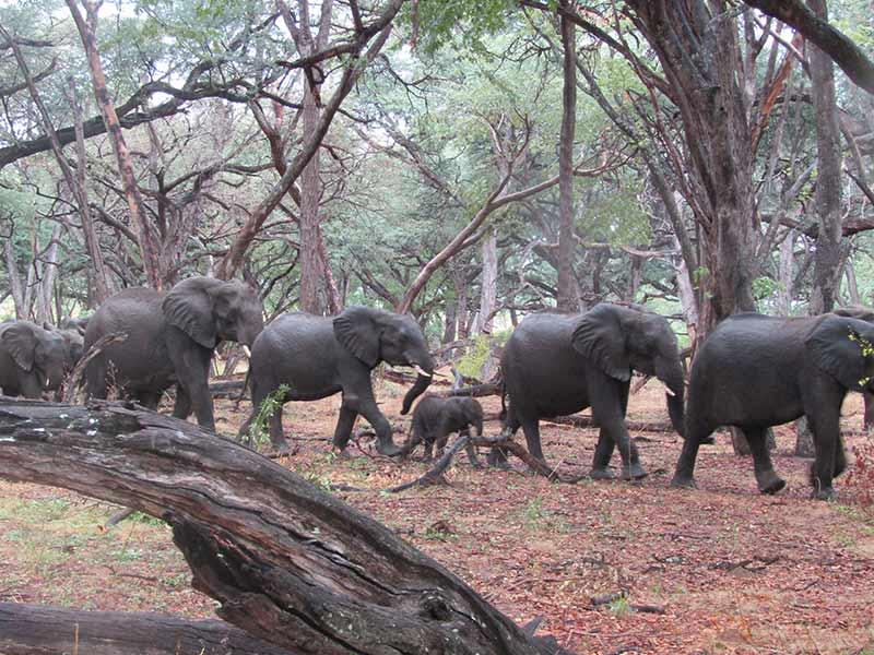 Elephant Herd Hwange National Park