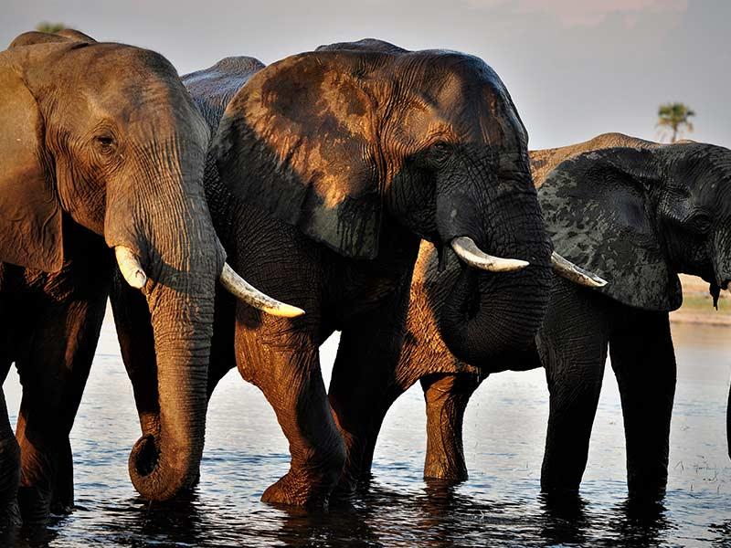 Elephants Herd The Hide, Hwange