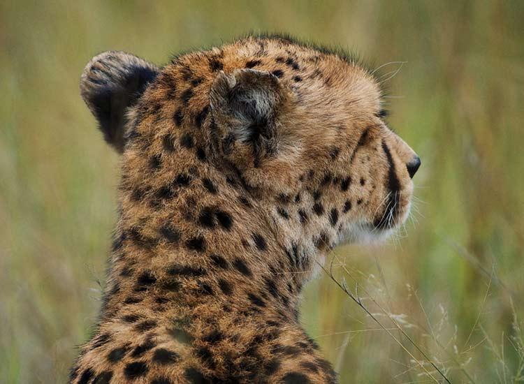 Cheetah - Photo Credit Cian DH