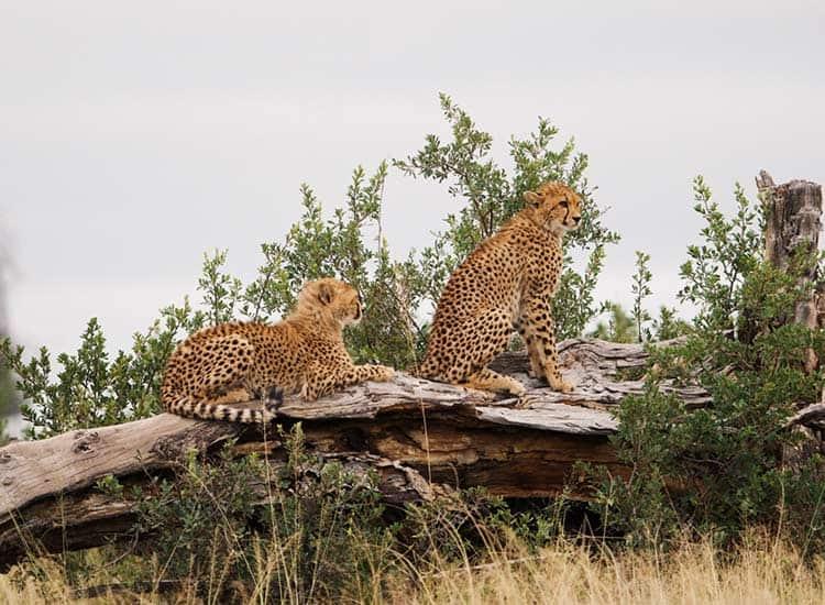 Cheetah Hwange National Park - Cian DH