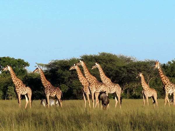 Giraffes Hwange National Park