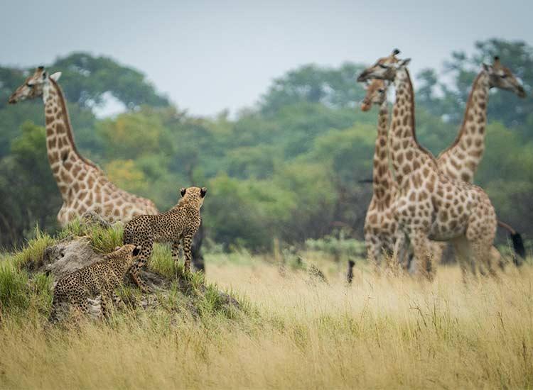 Cheetah & giraffe by Neil Fairlie