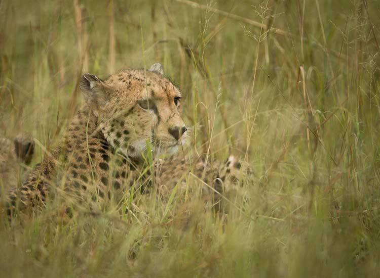 Cheetah by Neil Fairlie