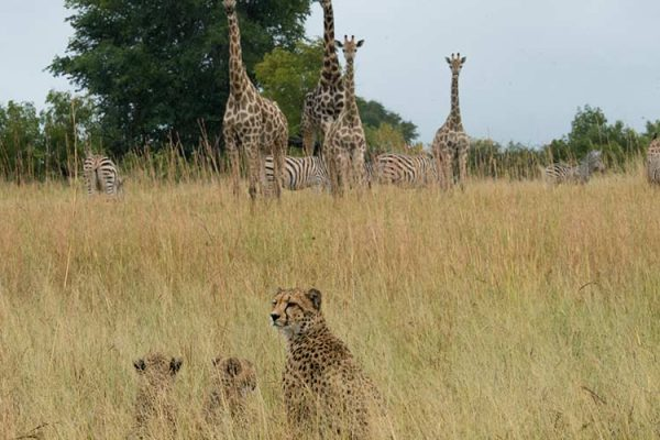 Cheetah, zebra & giraffe by Neil Fairlie