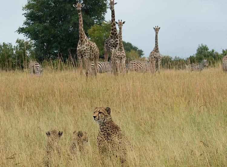 Cheetah, zebra & giraffe by Neil Fairlie