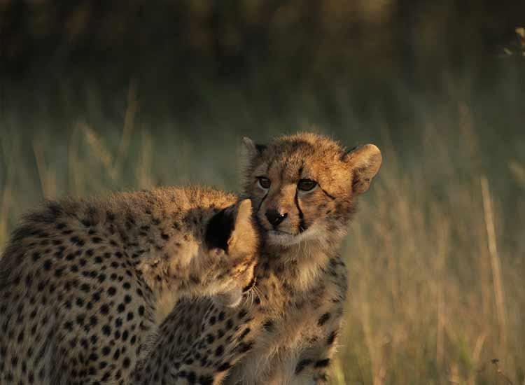 Cheetahs - Photo Credit - Pam