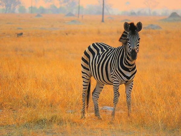 Zebra at sunset Hwange National Park