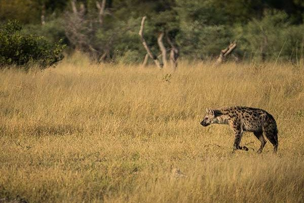 Hyena Hwange National Park - Photo by Neil Fairlie