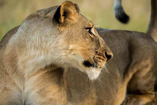 Lion Hwange National Park - Photo by Neil Fairlie