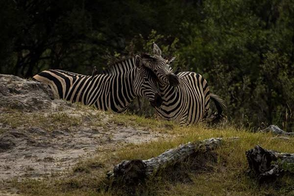 Zebras Hwange National Park - phot by Neil Fairlie