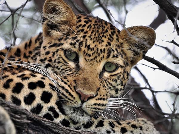Cheetah Hwange National Park