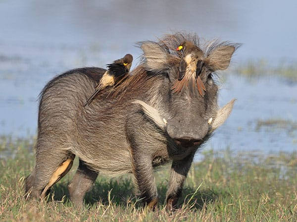 Wild Pig Hwange National Park