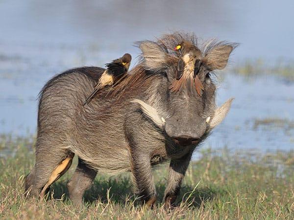 Wild Pig Hwange National Park