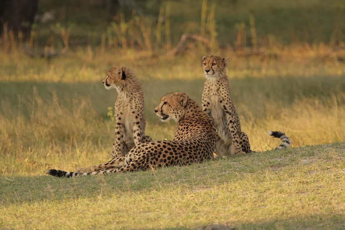 Cheetah Hwange Game Count