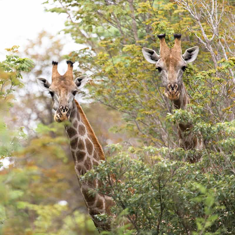 The Hide Giraffes 1
